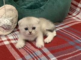 Scottish Fold / Scottish Straight